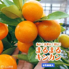 まるまる金柑 ( キンカン ) 6号鉢植え