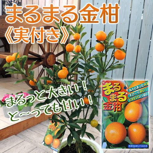 まるまる金柑 ( キンカン ) 接ぎ木苗 6号鉢植え ≪ 実付き ≫
