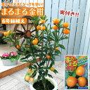 《 実付き 》まるまる金柑 ( キンカン ) 接ぎ木苗 6号鉢植え