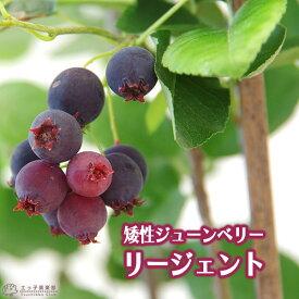 矮性ジューンベリー 『 リージェント 』 18cmポット苗 【 珍種 】