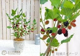 マルベリー鉢植え