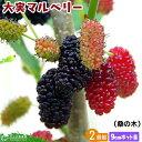 大実 マルベリー ( 桑の木 ) 9cmポット苗木 【 2個セット 】
