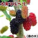 大実 マルベリー ( 桑の木 ) 15cmポット苗木