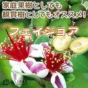 フェイジョア ( アポロ 、 プリティグリーン ) 18cmポット苗 【 選べる品種 】