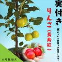 《実付き!!》 姫りんご 『長寿紅』 18cm鉢植え