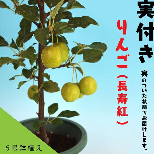 実付き!りんご 長寿紅 18cm鉢植え <今だけポイント10倍 9/27昼迄>