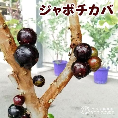 ジャボチカバ 7号鉢植え 株立ち大苗