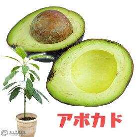 希少! アボカド 『 ハス 』 2年生 実生苗 5号鉢植え ( アボガド )