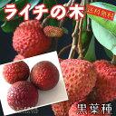 ライチ ( レイシ ) 黒葉種 2年生苗木 16.5cmポット 【 送料無料 】