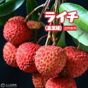 ライチ ( レイシ ) 黒葉種 2年生苗木 13.5cmポット 【 送料無料 】