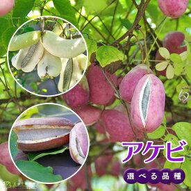 アケビ ( バナナアケビ / 紫アケビ ) 12cmポット苗 【 選べる品種 】