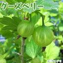 グーズベリー ( 西洋スグリ ) 12cmポット苗木