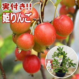 《実付き》 姫りんご ( ヒメリンゴ ) 6号鉢植え 【盆栽仕立て】