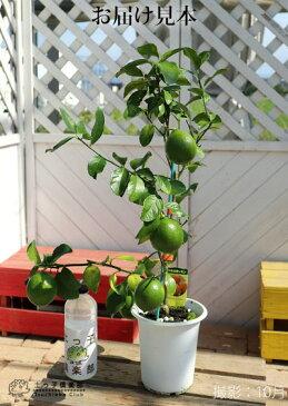 レモンの木『マイヤーレモン』5号鉢植え
