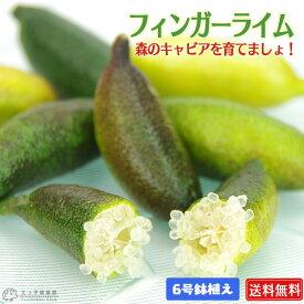 フィンガーライム 2年生 接ぎ木 6号鉢植え【 送料無料 】【 選べる品種 】