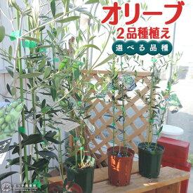 オリーブ 2品種植え ( 2年生 )5号スリット鉢