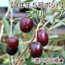 【選べる品種】全13品種!オリーブ(3年生)5号スリット鉢植え