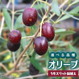 オリーブ (全11品種) 3年生 5号スリット鉢植え 【 選べる品種 】