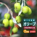 オリーブ (全9品種) 2年生 4号ポット苗 【 2個セット 】 【 送料無料 】 【 選べる品種 】