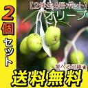 オリーブ (全12品種) 2年生 4号ポット苗 【 2個セット 】 【 送料無料 】 【 選べる品種 】