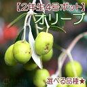 オリーブ (全12品種) 2年生 4号ポット苗 【 選べる品種 】 <今だけポイント10倍 12/13昼迄>