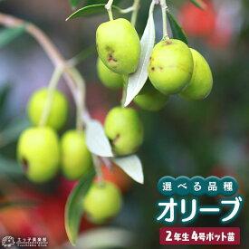 オリーブ (全9品種) 2年生 4号ポット苗 【 選べる品種 】