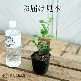 ハーブ柑橘『カフィアライム(こぶみかん)』