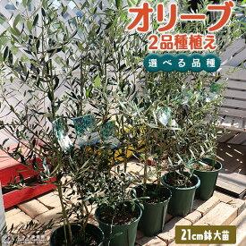 オリーブ 2品種植え ( 3年生 )7号スリット鉢 大苗