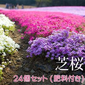 芝桜 24個セット(色混合) 9cmポット苗+肥料800gプレゼント