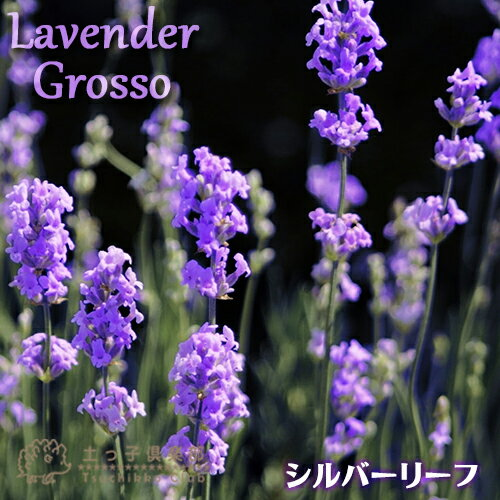 2個セット ラベンダー『グロッソ』 9cmポット苗 鉢植え可 ガーデニング 庭 プランター