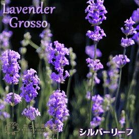 ラベンダー 『 グロッソ 』 9cmポット苗 【 2個セット 】(シルバーリーフ )