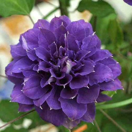 クレマチス 『 紫宸殿 』 パテンス系 ( 早咲き大輪系 ) 9cmポット苗