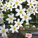 常緑クレマチス 『 カートマニージョー 』 2年生 10.5cmポット苗 モンタナ系 ≪ 花芽付き ≫