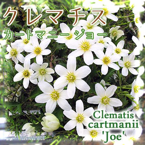 常緑クレマチス 『カートマニージョー』 2年生 10.5cmポット苗 モンタナ系 《花芽付き》