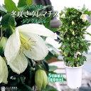 冬咲き クレマチス 『 ジングルベル 』 シルホサ系 5号鉢植え 《 花芽付き 》