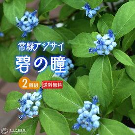 常緑アジサイ 『 碧の瞳 』 9cmポット苗 【 珍種 】 【 送料無料 】 【 2個セット 】