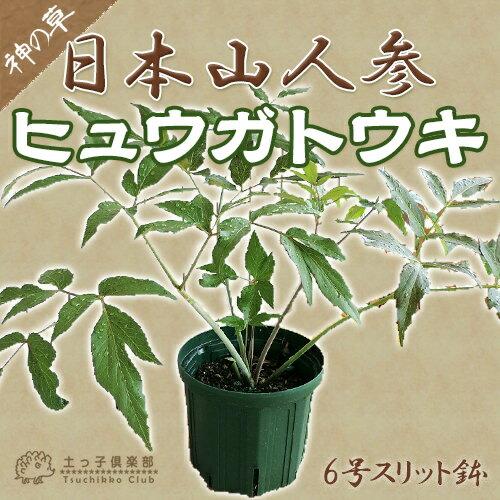 日本山人参『ヒュウガトウキ(日向当帰)』 6号スリット鉢植え