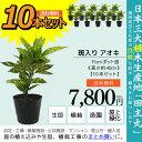 10本セット 斑入り葉アオキ 15cmポット苗 高さ約40cm 送料無料