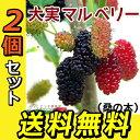 【2個セット】大実マルベリー(桑の木) 15cmポット苗木 送料無料