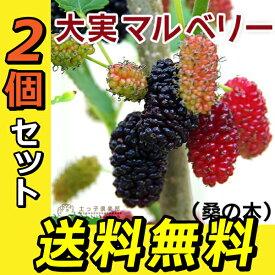 大実 マルベリー ( 桑の木 ) 15cmポット苗木 【 送料無料 】 【 2個セット 】