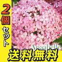 2個セット アジサイ ピンクアナベル 10.5cmポット苗