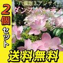 2個セット 八重咲きアジサイ ダンスパーティ 苗 10.5cmポット苗 ガーデニング 庭木 植木