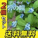 2個セット【珍種】常緑アジサイ 苗 『碧の瞳』(アオノヒトミ)9cmポット苗 ガーデニング 庭木 植木 青