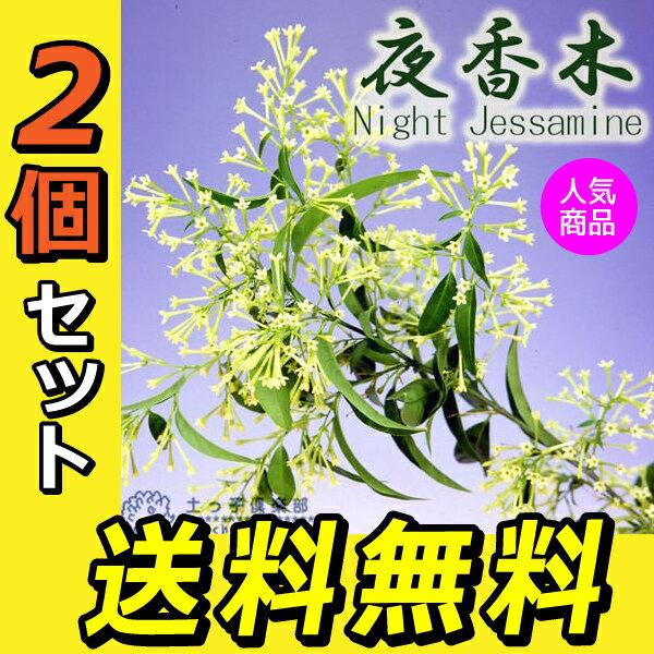 2個セット ナイトジャスミン(夜香木、夜香花) 9cmポット苗