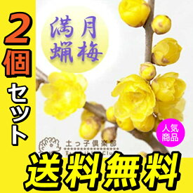 満月蝋梅 ( まんげつろうばい ) 5号鉢植え 【 送料無料 】 【 2個セット 】