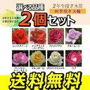 2個セット 薔薇 苗 四季咲き大輪B 選べる品種 2年生接ぎ木苗 (ハイブリットティーローズ) 送料無料