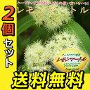 2個セット レモンの香りの『レモンマートル』 10.5cmポット苗 ガーデニング 庭木 植木 送料無料