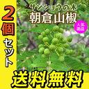 2個セット 山椒『朝倉サンショウ』 10.5cmポット接木苗 送料無料