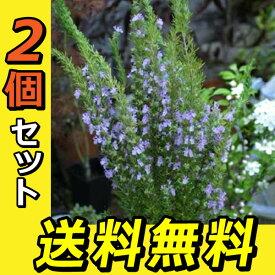 ローズマリー 9cmポット苗 【 送料無料 】 【 2個セット 】