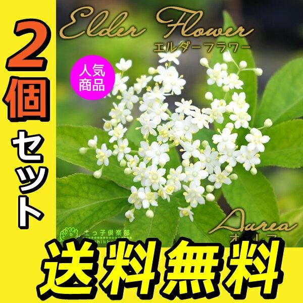 2個セット エルダーフラワー(西洋ニワトコ)『オーレア』 9cmポット苗 鉢植え可 ガーデニング 庭 ハーブ